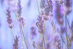 Leichte Lavendelblumen lizenzfreie stockbilder
