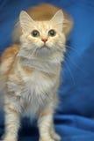 Leichte Pfirsichfarbe der Katze Stockfoto