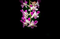 Leichte rosa Orchidee auf dunklem Hintergrund Stockfoto