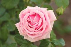 Leichte rosafarbene Rose Stockfoto