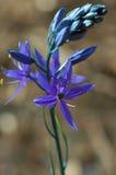 Leichtlinii do Camassia, nome comum: camass Foto de Stock
