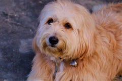 Leid een hond en bruine ogen royalty-vrije stock afbeeldingen
