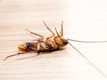 Leiden de kakkerlakken kleine dieren het ergeren af veroorzaakt van ziekte royalty-vrije stock afbeeldingen