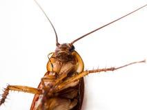 Leiden de kakkerlakken kleine dieren het ergeren af veroorzaakt van ziekte stock afbeeldingen