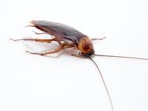 Leiden de kakkerlakken kleine dieren het ergeren af veroorzaakt van ziekte stock foto's