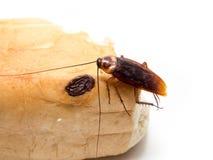 Leiden de kakkerlakken kleine dieren het ergeren af veroorzaakt van ziekte Stock Foto