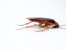Leiden de kakkerlakken kleine dieren het ergeren af veroorzaakt van ziekte royalty-vrije stock foto's