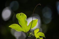 Leidenschaft fruite treiben die essbare Passionsblume Blätter stockbild