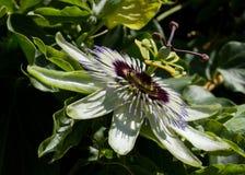 Leidenschafts-Blume Lizenzfreies Stockbild