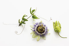 Leidenschafts-Blume Stockfotografie