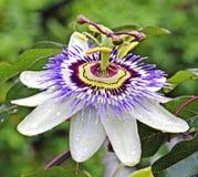Leidenschafts-Blume Stockbilder