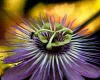 Leidenschafts-Blume Stockfoto