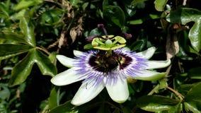 Leidenschafts-Blume mit einer Biene, die Blütenstaub sammelt Stockfotografie