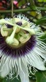 Leidenschafts-Blumen-Regentropfen Stockfoto
