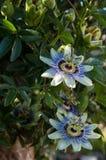 Leidenschafts-Blumenpassionsblume caerulea Lizenzfreie Stockfotografie