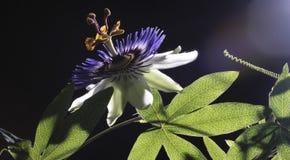 Leidenschaftsblume Stockbild