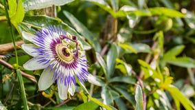 Leidenschaftsblume in einer Natur Lizenzfreie Stockbilder
