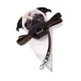 Leinenhund bereit zu einem Weg Stockbilder