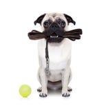 Leinenhund bereit zu einem Weg Lizenzfreies Stockbild