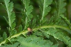 Leiobunum rotundum harvestman spider eating fly prey Stock Images