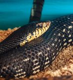 Leioheterodon madagascariensis or Malagasy Giant Hognose Snake.  royalty free stock photo