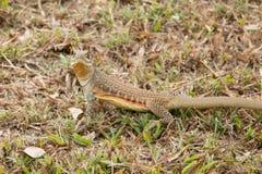 Leiolepis jest wyłącznym genus podrodzina Leiolepidinae Zdjęcia Royalty Free