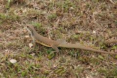 Leiolepis jest wyłącznym genus podrodzina Leiolepidinae Zdjęcie Royalty Free