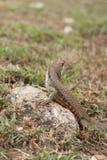 Leiolepis jest wyłącznym genus podrodzina Leiolepidinae Obrazy Royalty Free