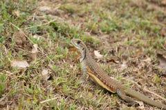 Leiolepis jest wyłącznym genus podrodzina Leiolepidinae Fotografia Royalty Free