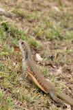 Leiolepis jest wyłącznym genus podrodzina Leiolepidinae Zdjęcia Stock