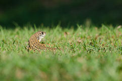 Leiolepis is waiting prey in the garden Royalty Free Stock Photos