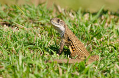 Leiolepis is waiting prey in the garden Stock Photography