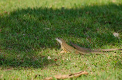 Leiolepis is waiting prey in the garden Stock Photos