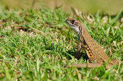 Leiolepis is waiting prey in the garden Royalty Free Stock Images