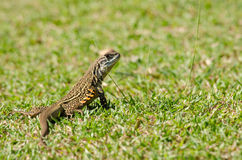Leiolepis is waiting prey in the garden Stock Photo
