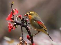 Leiothrix & granchio-Apple di fioritura cinese Fotografia Stock Libera da Diritti