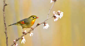 Leiothrix lutea Royalty Free Stock Images