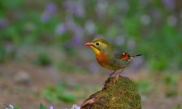 Leiothrix Vermelho-faturado Imagem de Stock