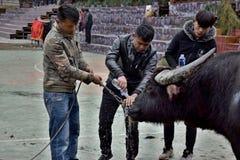 LEISHAN, ПРОВИНЦИЯ ГУЙЧЖОУ, †КИТАЯ «ОКОЛО декабрь 2017: Несколько людей смотря после индийского буйвола Стоковые Фото