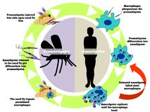 Leishmania. The life cycle of the Leishmania parasite transmitted by the female phlebotomine  sandfly Royalty Free Stock Image