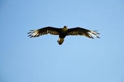 Leistung der Falken im Flug Stockbild