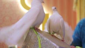 Leistung von weißen Tauben stock video