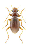 Leistus ferrugineus Royalty Free Stock Image