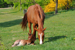 Leisure time. Chestnut mare with her cute foal,Czech republic Royalty Free Stock Images