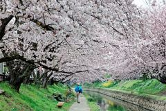 Leisure walk along a footpath under a romantic archway of pink cherry blossom trees Royalty Free Stock Photos