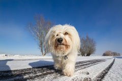 Leisurely comes the dog Royalty Free Stock Photography