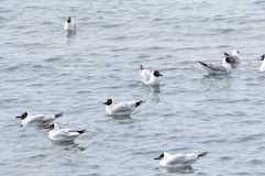 Leisurely Larus brunnicephalus. In Qinghai lake Stock Photography