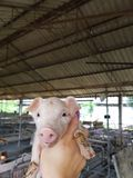 Leitão bonito na exploração agrícola Imagem de Stock Royalty Free