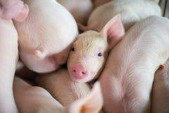 Leitão bonitos na exploração agrícola de porco Fotos de Stock