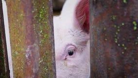 Leitão branco pequeno em um chiqueiro, leitão atrás de uma cerca das hastes de metal, exploração agrícola de porco vídeos de arquivo